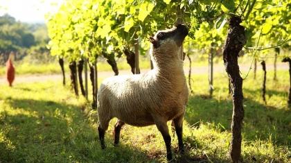 Schafe-im-Weinberg_1